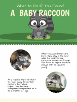 What to Do if You Found an Abandoned Baby Raccoon